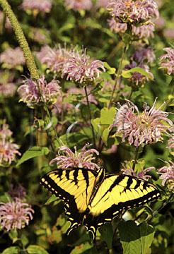 snp butterfly webW