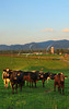 Cattle new New Hope in the Shenandoah Valley of Virginia, USA