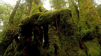 Antarctic Beech Trees 1