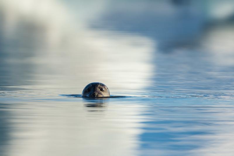Common seal swimming around in the Jökulsárlón glacial lake