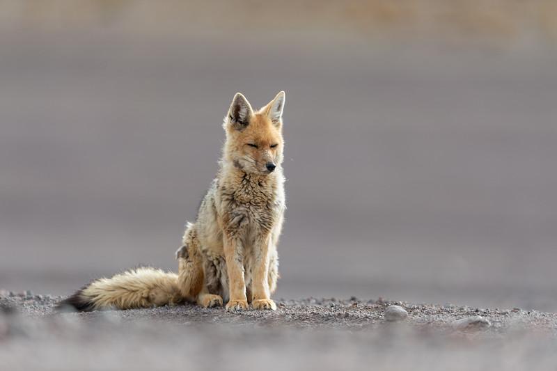 Portrait of resting culpeo (Lycalopex culpaeus) or Andean fox, at the Siloli desert in Eduardo Avaroa Andean Fauna National Reserve