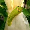 Spicebush Caterpillar on Spicebush