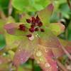 Hypericum virginicum, Virginia St. John's wort