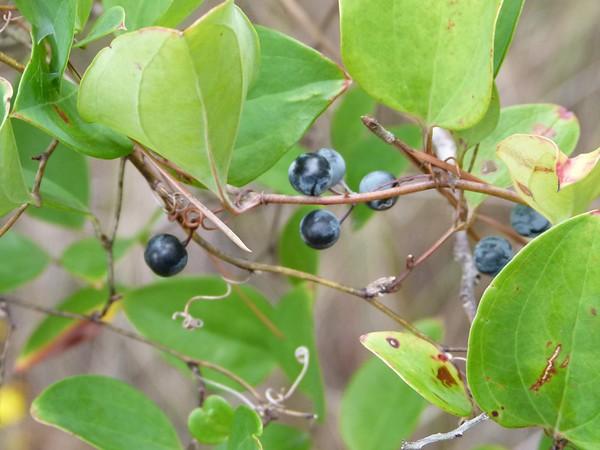 Smilax spp. , Greenbrier