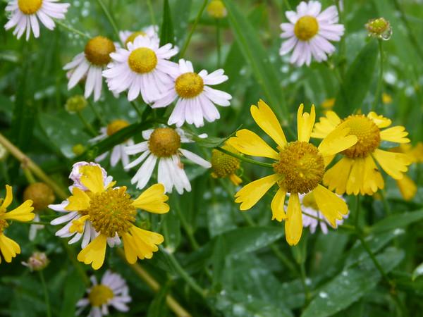 Yellow- Helenium autumnale, Sneezeweed White- Boltonia montana , Valley dolls-daisy