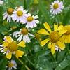Yellow- Helenium autumnale, Sneezeweed<br /> White- Boltonia montana , Valley dolls-daisy