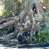 Dismal Swamp, royal fern, (Osmunda spectabilis)