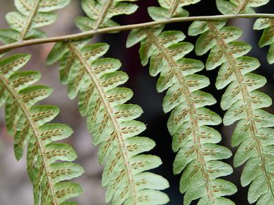 Woodwardia virginica, Virginia chain fern; spores