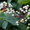 Cornus racemosa, Grey dogwood