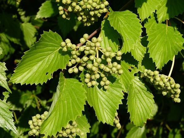 Arrowwood viburnum,  southern arrowwood