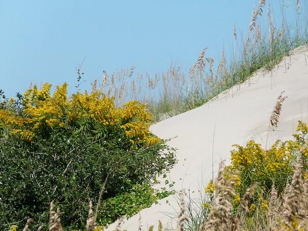 Solidago sempervirens, Seaside goldenrod