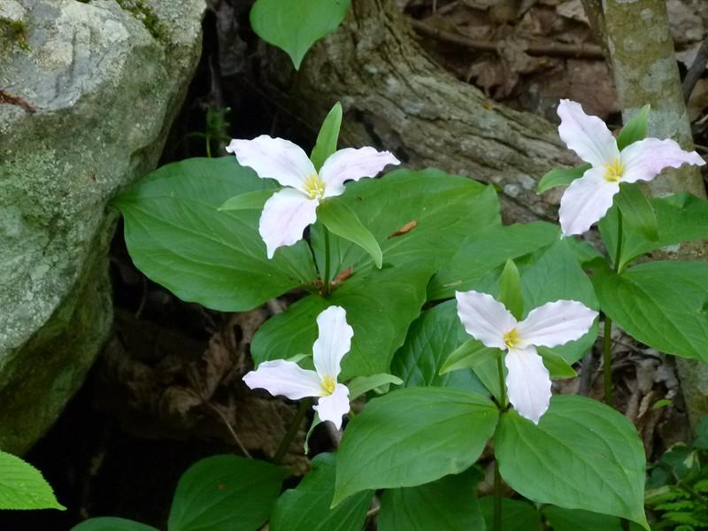 Trillium grandiflorum, Large-leaf trillium