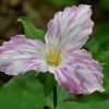 Trillium grandiflorum, Large-flowered trillium