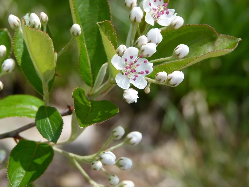 Aronia arbutifolia, red chokeberry