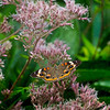 Buckeye Butterfly on Joe Pye Weed
