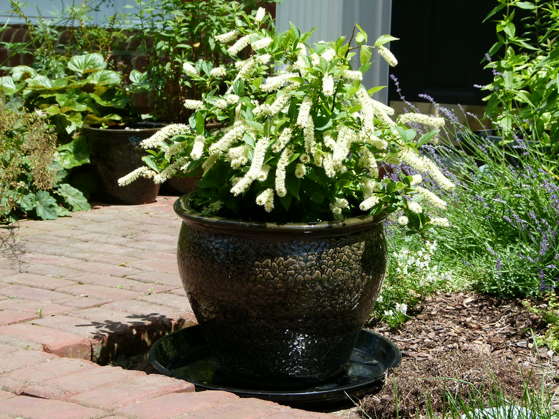 Itea virginica, or sweetspire, makes a great container plant.