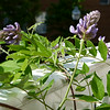 Wisteria frutescens, our native wisteria on a balcony.