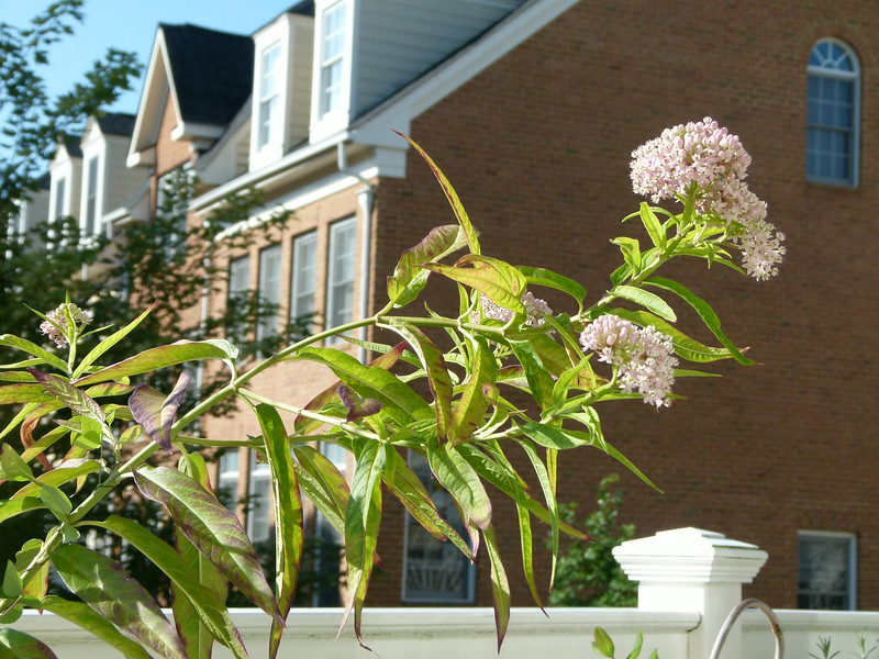Asclepias incarnata, or swamp milkweed, attracting pollinators from the second story balcony.