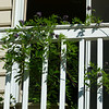 This native wisteria can be enjoyed on both sides of the balcony.