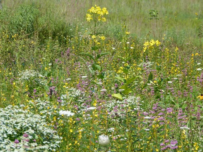 mountain mint, meadow