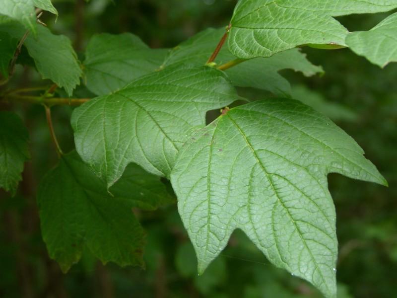 cranberry bush viburnum