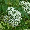 Elderberry, (Sambucus nigra)