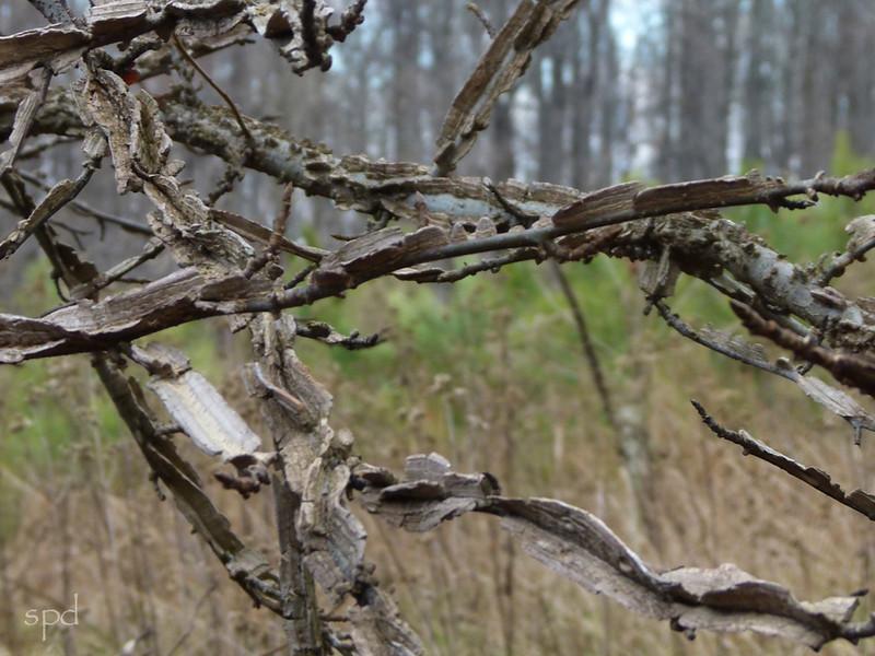 Liquidambar styraciflua, sweet gum; young tree may have corky extrusions