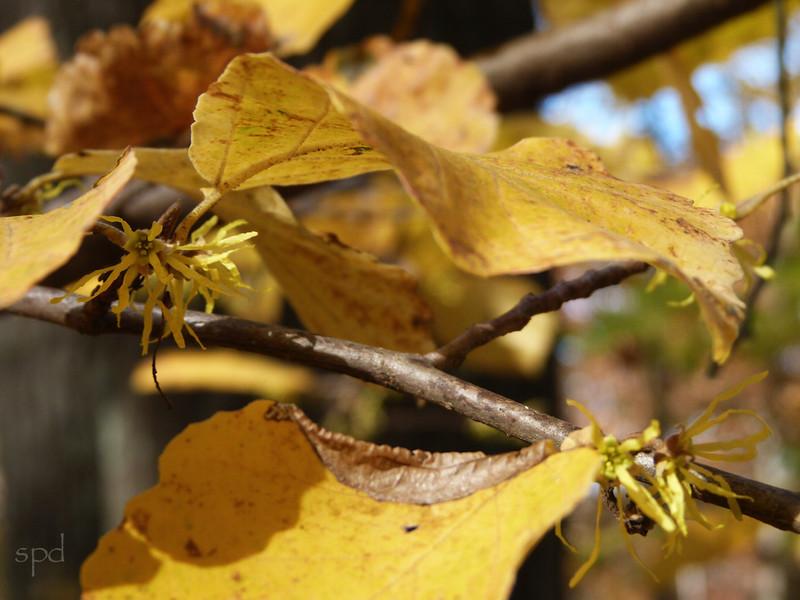 Hammamelis virginiana, witch hazel, blooms Oct - Dec