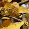 Hammamelis virginiana, witch hazel, blooms Oct - Dec