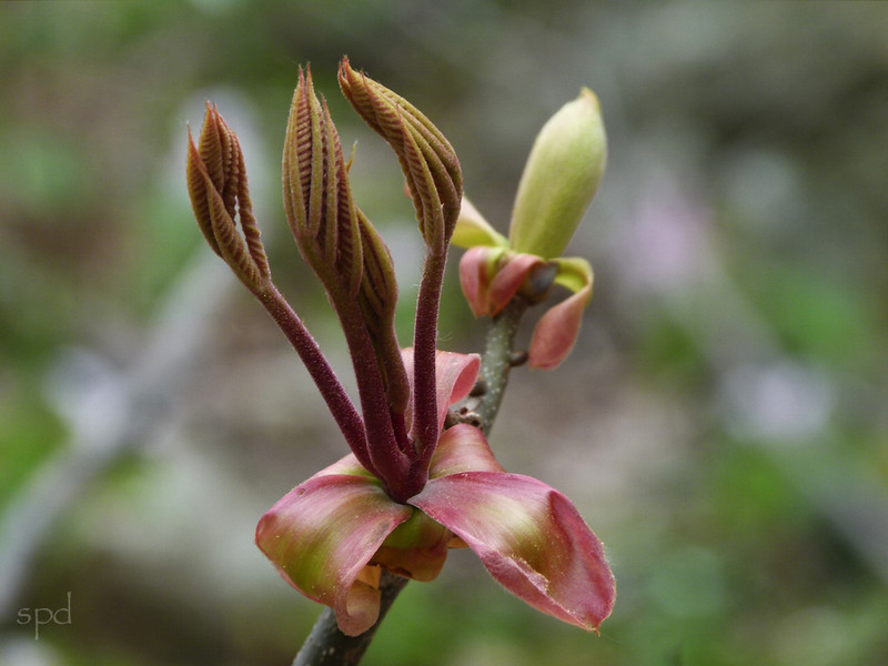 Carya spp., Hickory, flower bud in spring