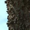 Celtis occidentalis, hackberry