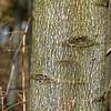 Liriodendron tulipifera, tulip, or poplar tree; bark of young specimen