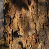 Liriodendron tulipifera, tulip tree; bark of very mature specimen