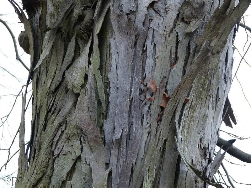 Carya ovata, shagbark hickory, mature specimen