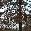 Quercus palustris, pin oak, or swamp oak, bottom limbs droop downward
