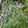 Juniperus virginiana, eastern red cedar