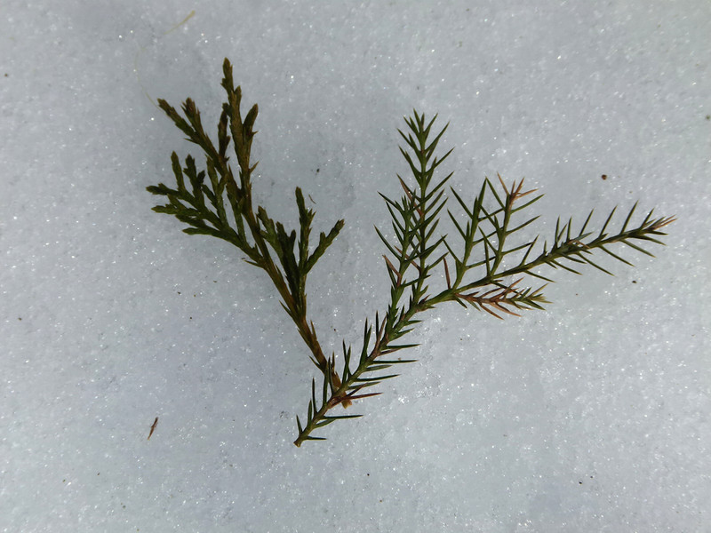 Juniperus virginiana, eastern red cedar; the juvenile leaves are pointy and sharp for tree's protection
