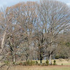 Quercus rubra, red oak, surrounded by Juniperus virginiana, eastern red cedar; planted by birds