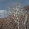 Platanus occidentalis , sycamore