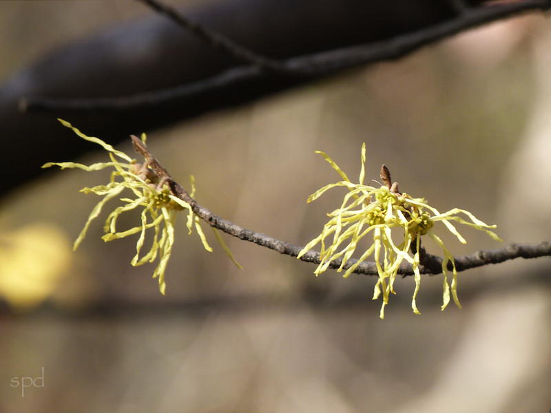 Hammamelis virginiana, witch hazel; blooms Oct - Dec