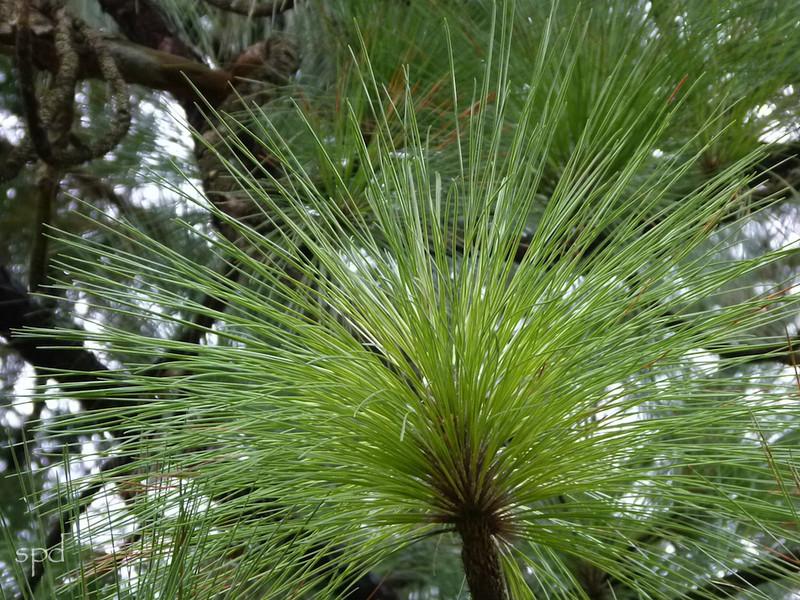 Pinus palustris, longleaf pine