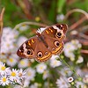 Common Buckeye on Aster
