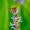 Fiery Skipper on Pickerel Weed