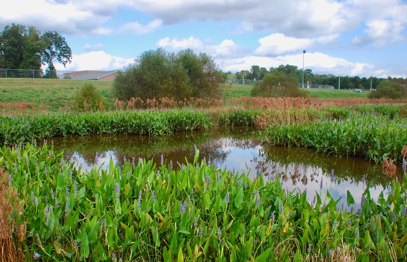 Pickerel weed along Warhill drainage pond