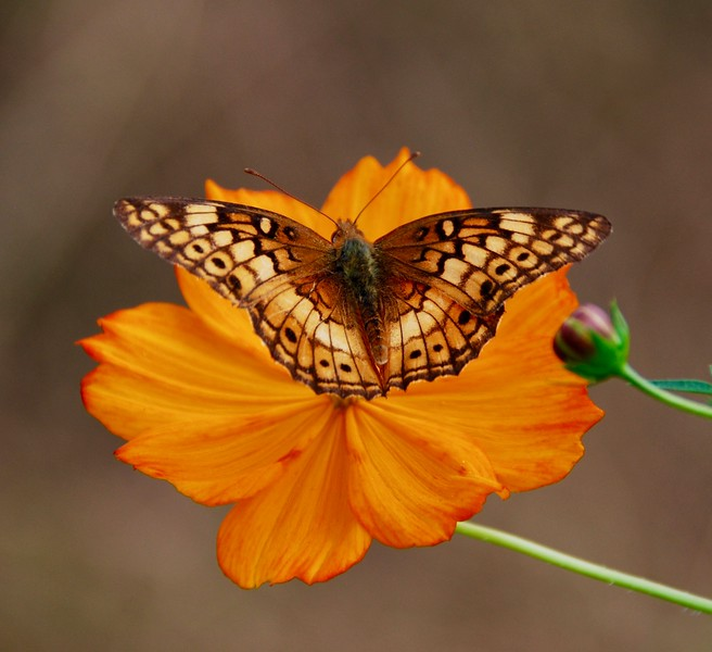 Variegated Fritillary on Cosmos