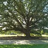 Virginia Champion Compton Oak. In 2014, the circumference of the trunk at chest height was nearly 16' and the crown was 119' wide.