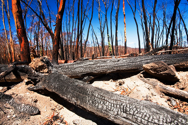 Forest destroyed by bush fires near Michelago, New South Wales.
