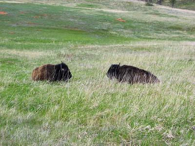 Buffalo Stare Off