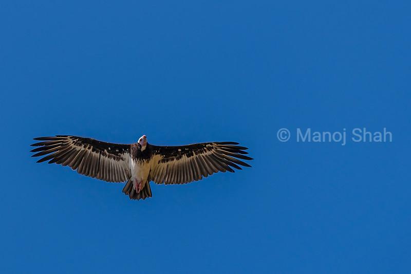 White Backed Vulture in flight in Masai Mara.