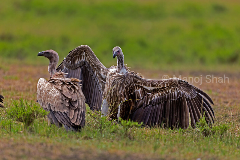 White backed vulture in an aggrresive mood